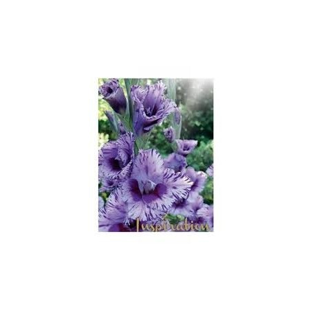 GLAIEUL PASSOS Grandes fleurs (x8)