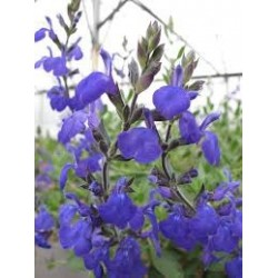 SAUGE ARBUSIVE petites fleurs SALVIA BLUE NOTE cov C4.5 TF