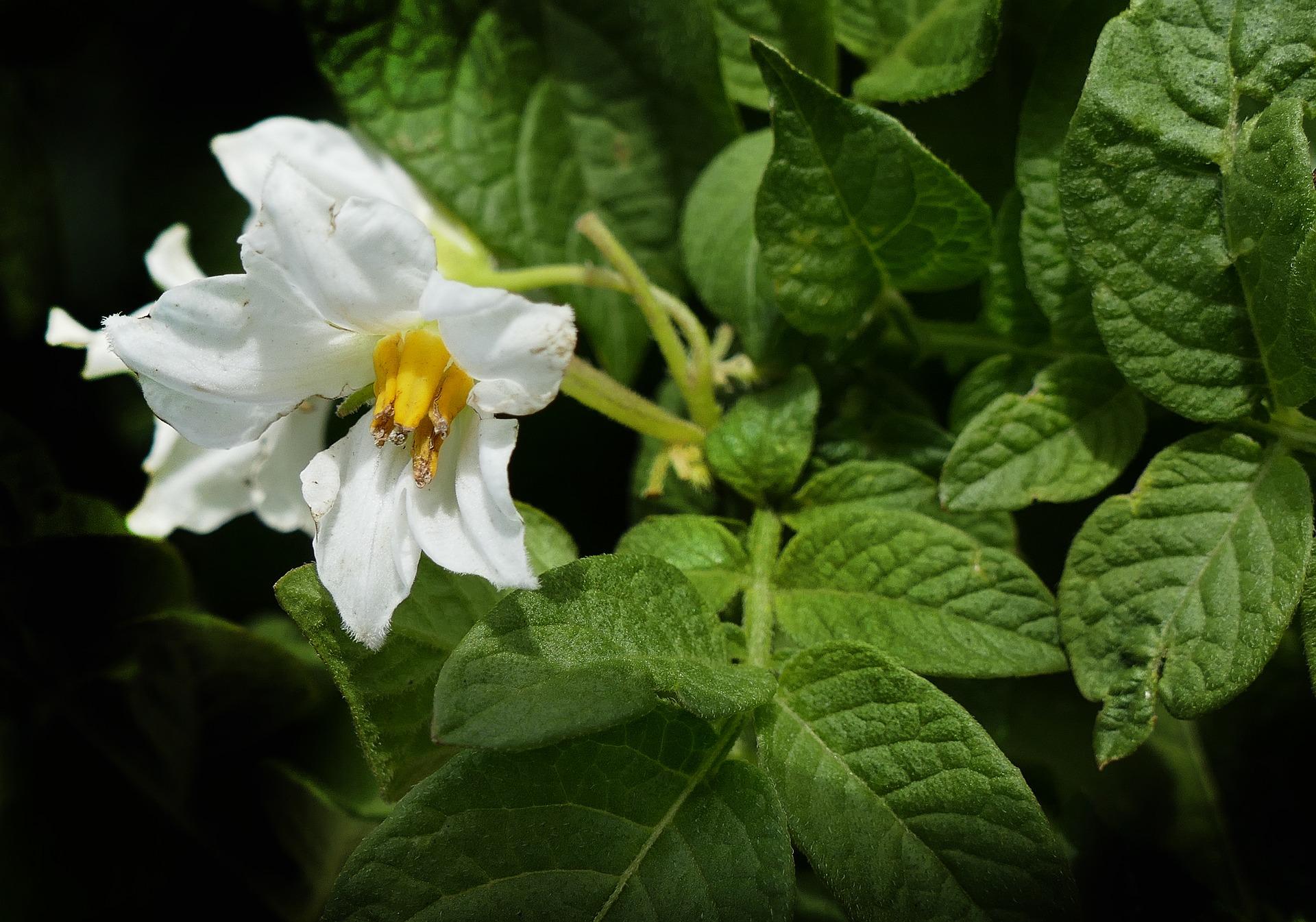 Fleur de pomme de terre